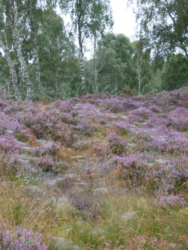 The heather is looking spectacular - but webby- on a misty morning