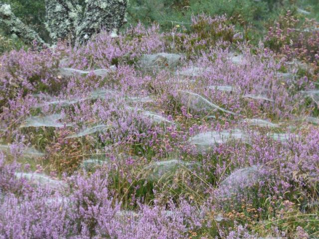 Spiders' webs on heather