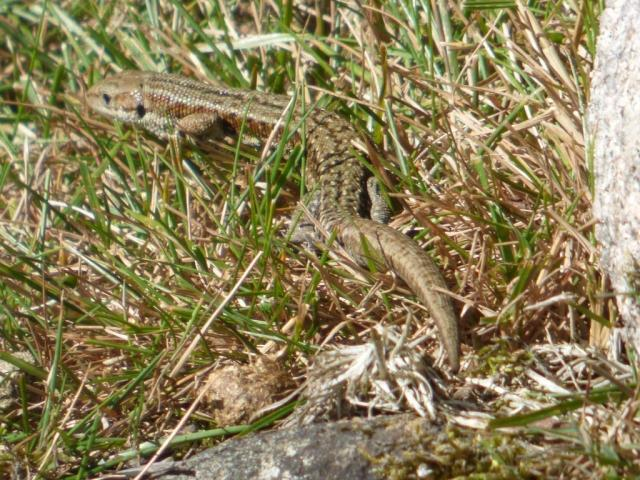 Common lizard, in one of the adder basking spots