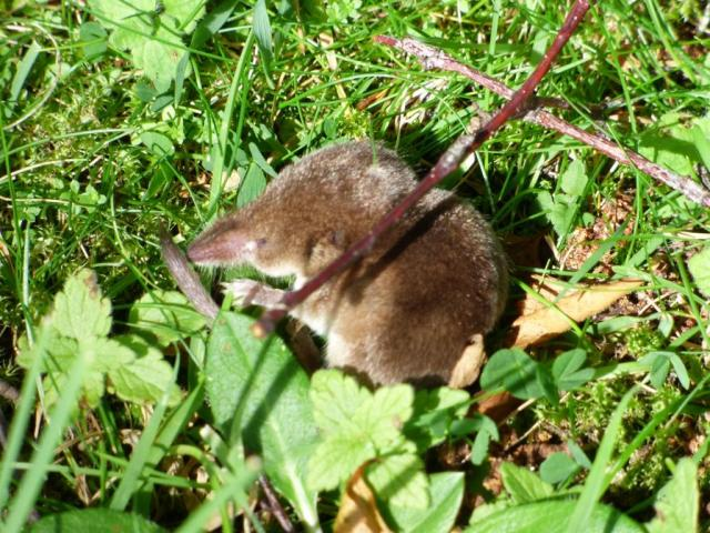 Shrew...possibly common shrew?
