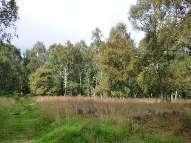 Some of the birches are yellowing rapidly