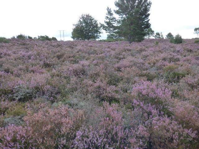 The heather is just starting to go over