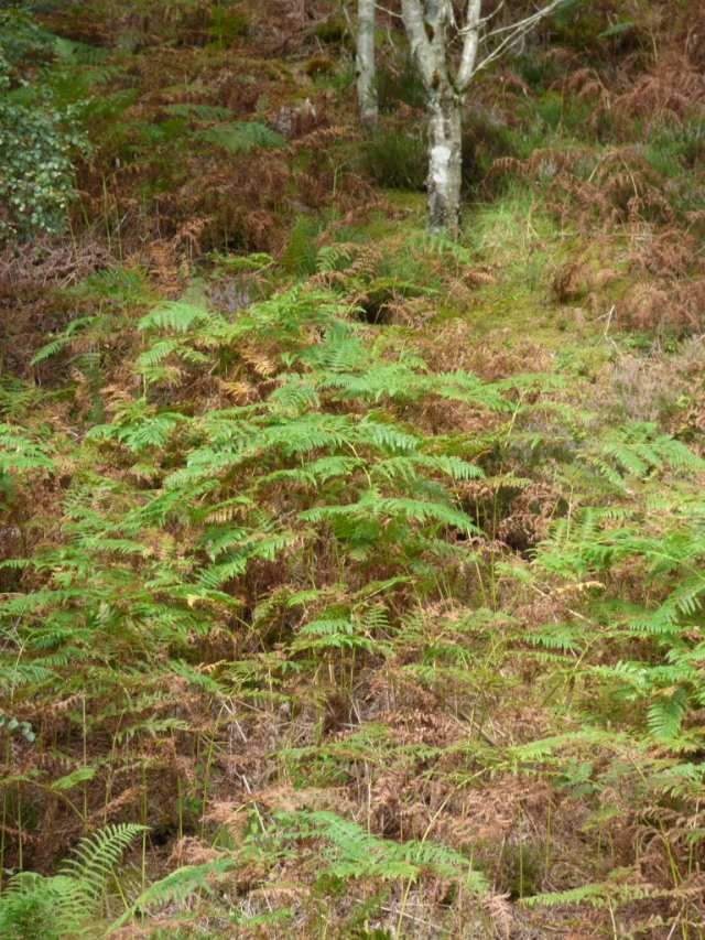 The bracken is going brown