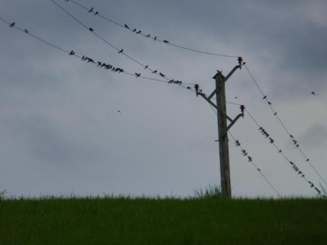 Swallows gathering on the lines