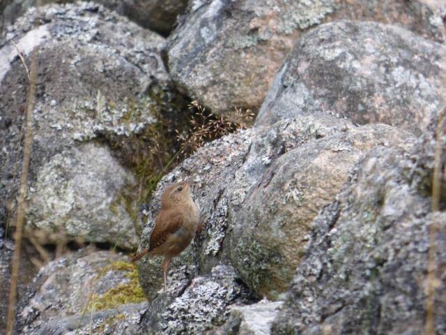 Rock-climbing wren