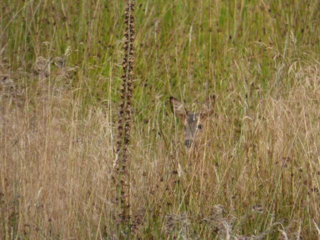 Roe fawn 2