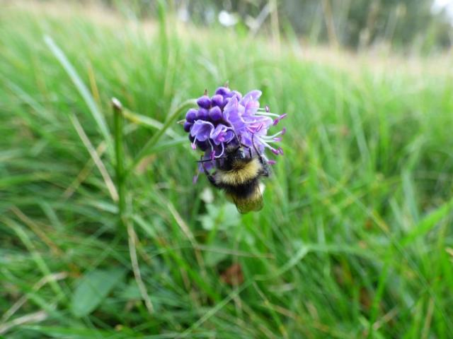 Devil's bit scabious with bumblebee