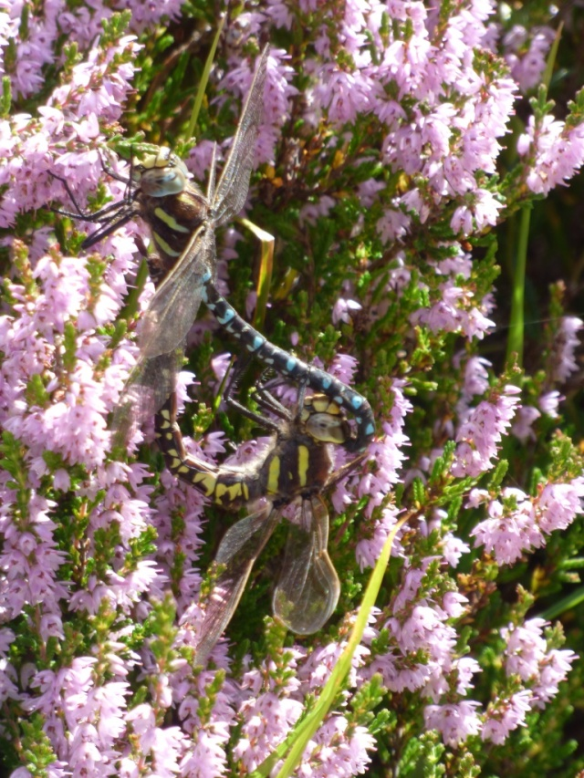 Common hawker dragonflies mating