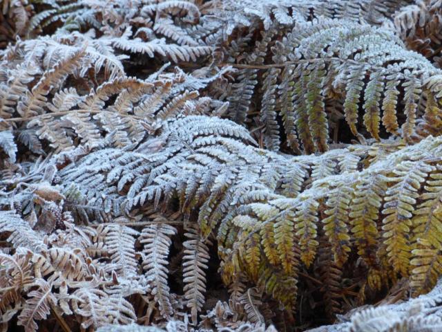 frosty bracken