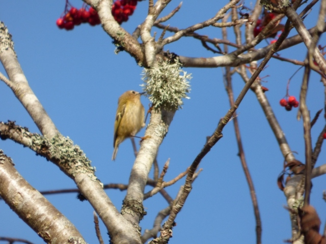 Goldcrest foraging in rowan tree