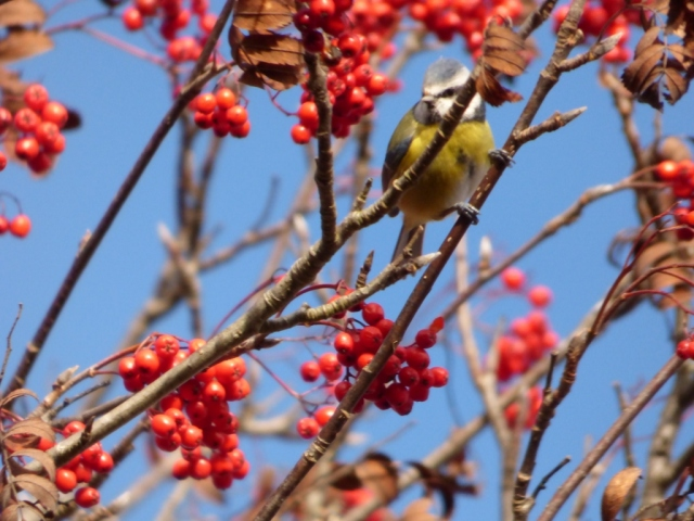 Blue tit, blue sky, red berries