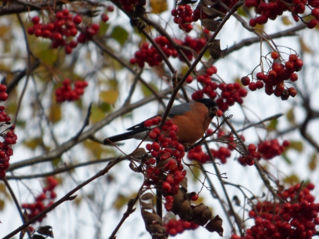 Male bullfinch with rowan berry