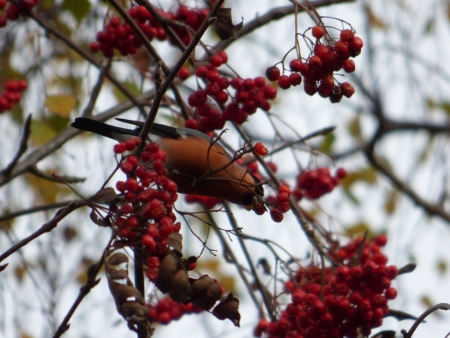 Male bullfinch reaching for a berry