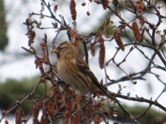A rather bedraggled redpoll