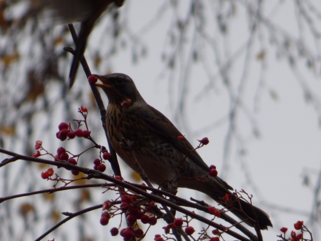 fieldfare with rowan berry