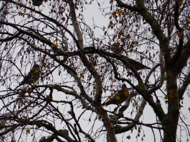 Fieldfares perching in birch tree between feeds