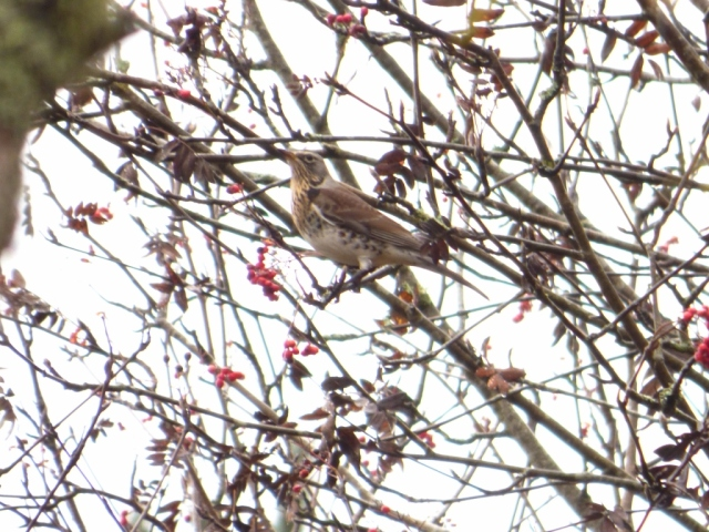 Chack. Chack-chak! Fieldfare in rowan tree