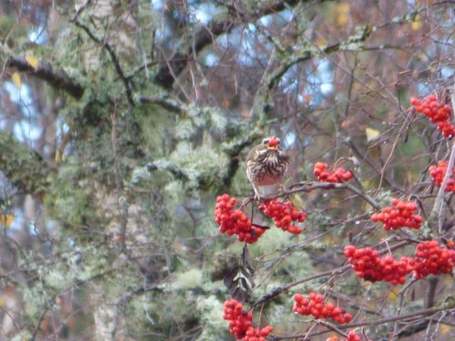 Rowan guzzling redwing