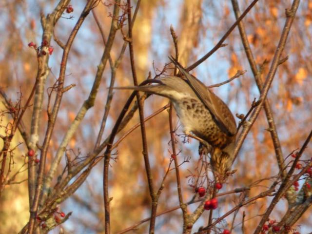 Fieldfare toppling over after berries...