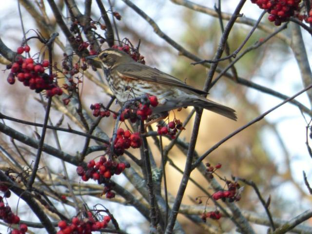 There are a few redwing scattered through the fieldfare flocks