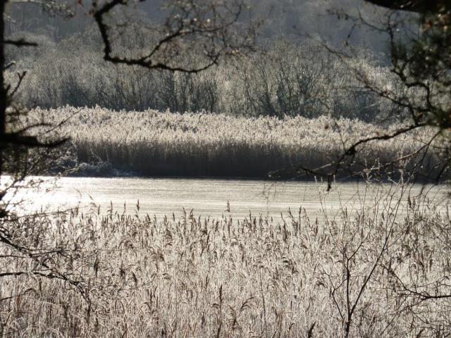 Frosty reeds by Loch Davan