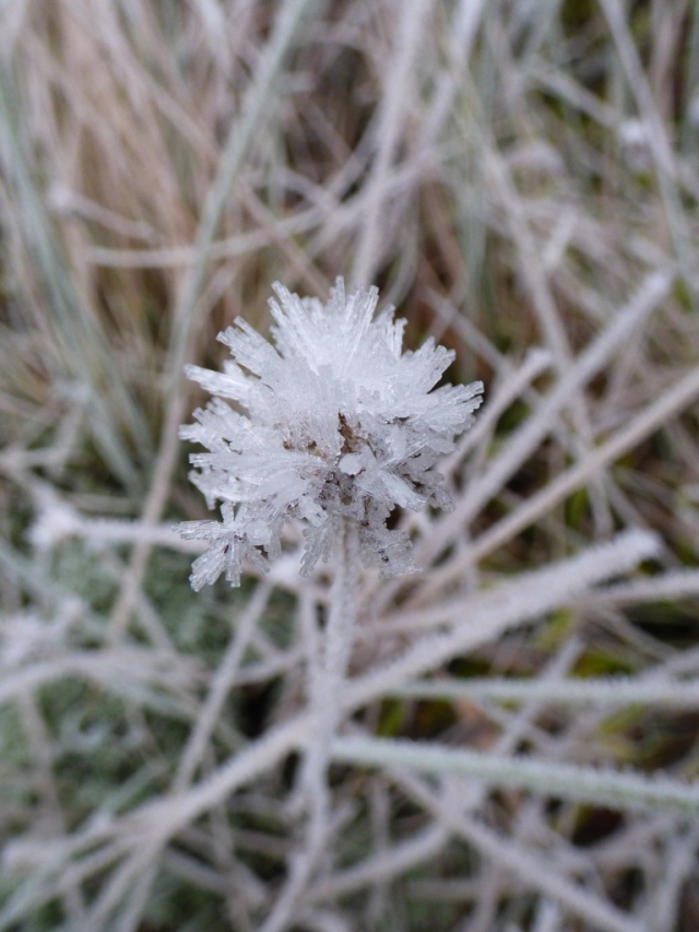 frost flower- a devil's bit scabious head covered in frost petals
