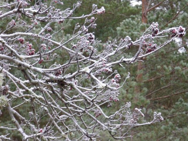 Frosty rowan tree