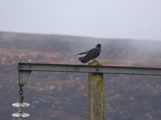 "Crow ""rain bathing"""