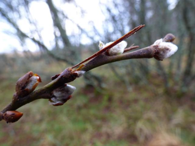 Some willow catkins are visible already