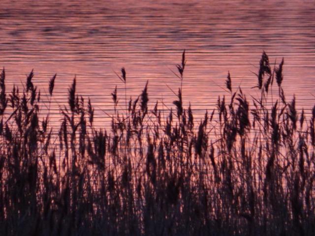 Sunrise reeds
