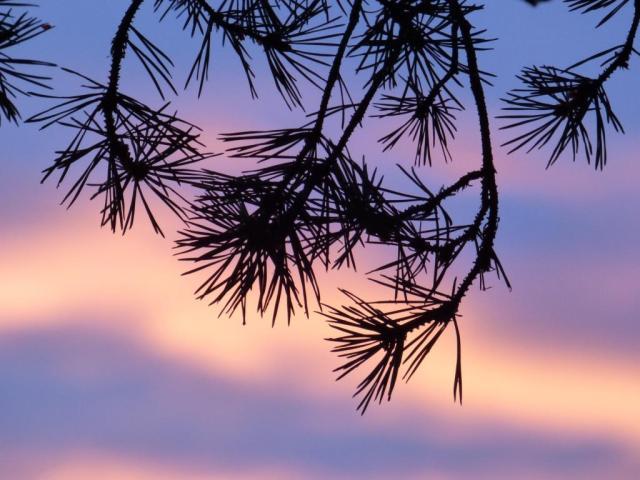 Pine needles against the sunrise