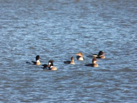 The mergansers' crests were blowing about in the wind