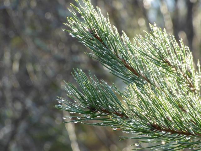 Wet pine needles