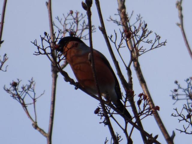 Bullfinch eating the few remaining rowan berries
