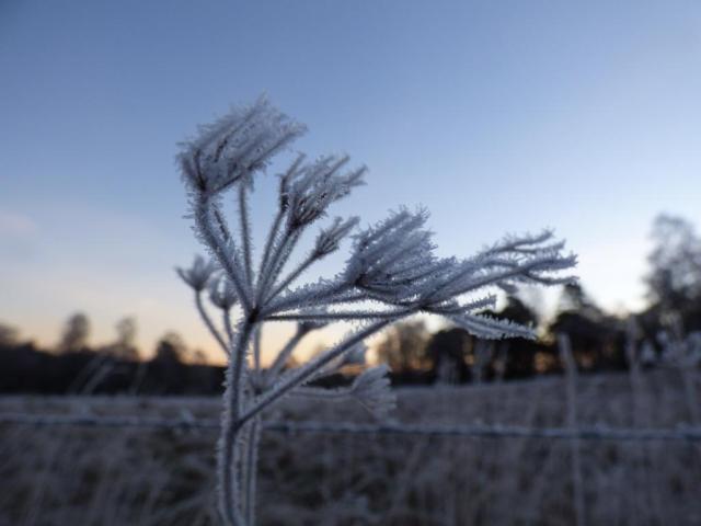 Frosty hogweed