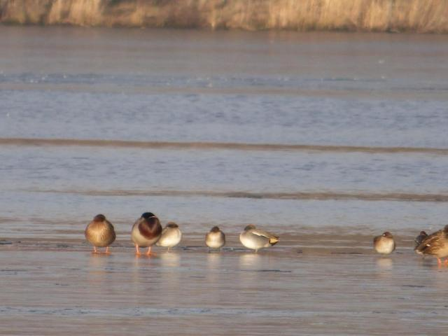Mallard and teal rooting on the ice