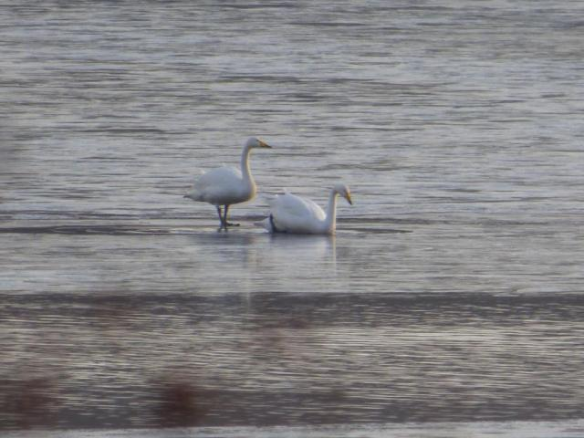A pair of whoopers on the ice