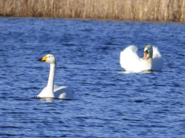 Whooper swan being chased by irate mute swan