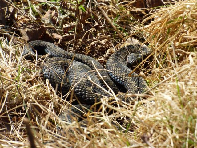 "There are actually two adders in the ""puddle"" of snake"""
