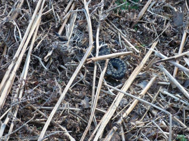 Spot the adder? I didn't!
