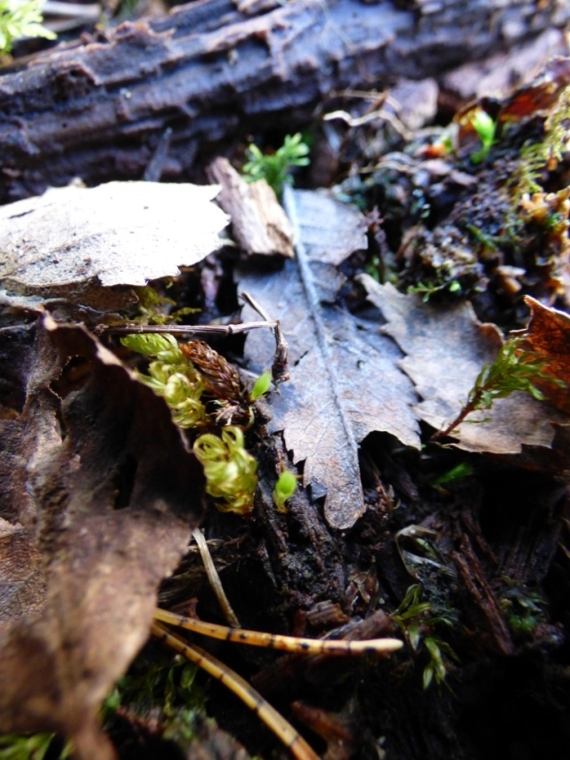 Green shield moss