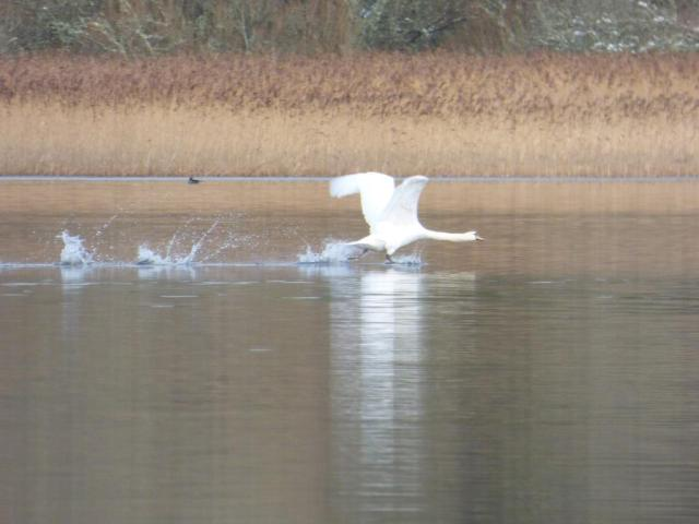 Aggressive mute swan chasing cygnets