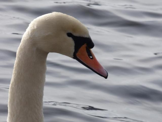 You can see right through the swan's beak!