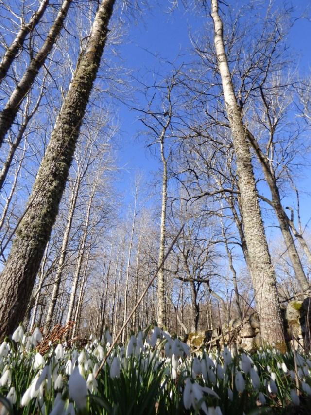 Snowdrops and aspen
