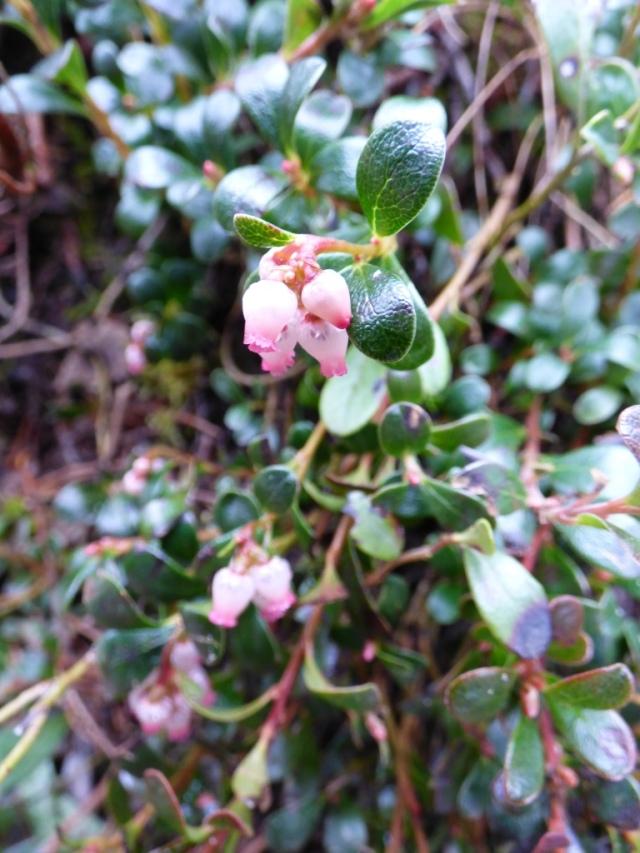Bearberry flower