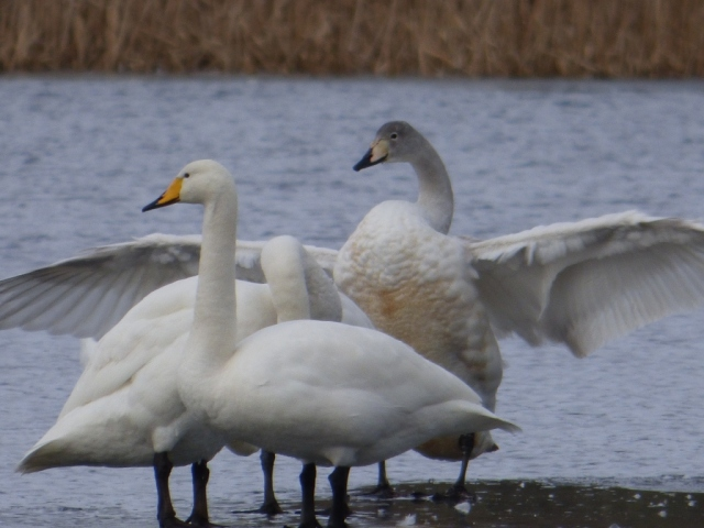 whoopers
