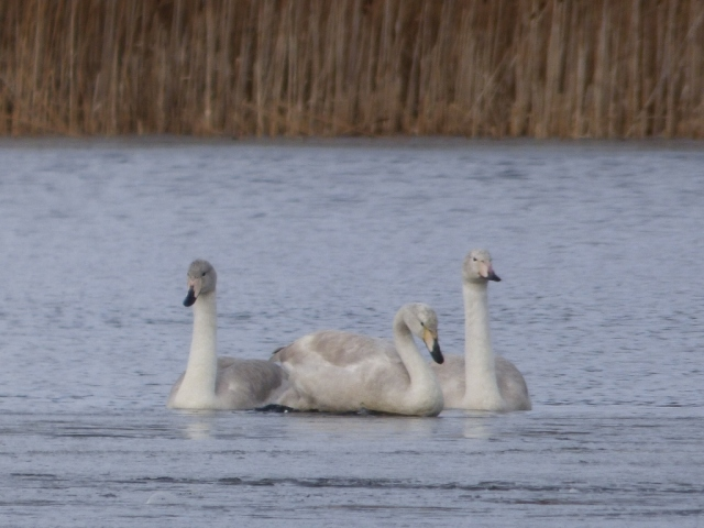 young whoopers