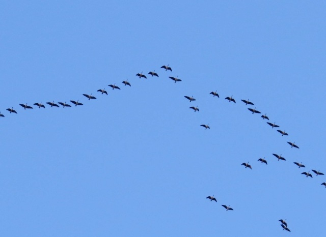 1 migrating geese