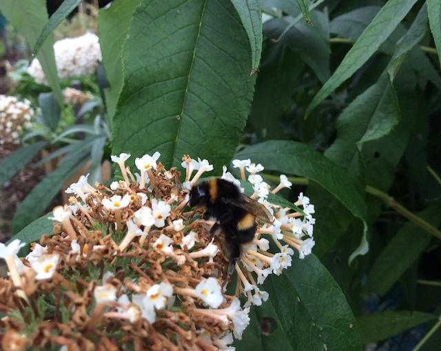 5 bumblebee on buddliea