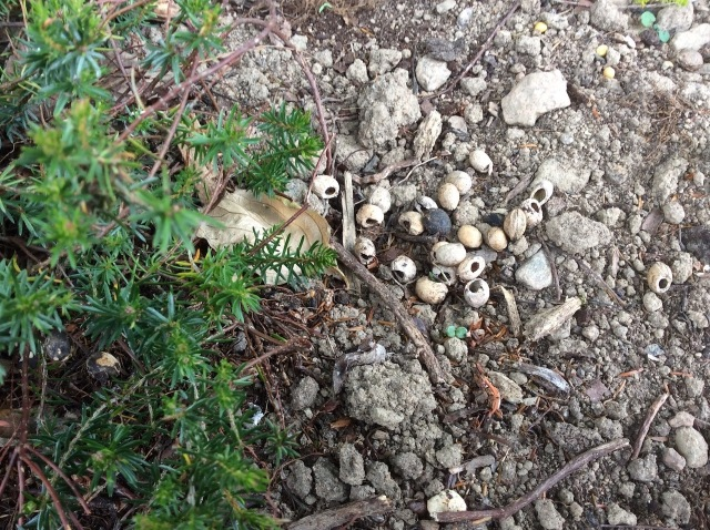 6 cherry stones tackled by woodmice